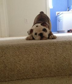 bulldog at the top of the stairs