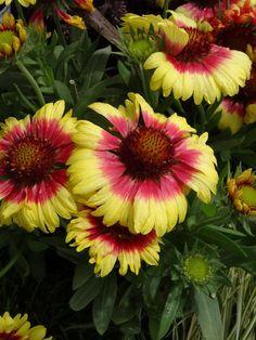 Gaillardia x gr. (Blanket Flower)