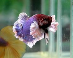 Dragon Splendens Betta | 18.- Betta DUMBO big ears - Plakat