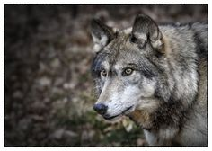 "Wolf at the ""Lakota Wolves Preserve"" in Columbia, New Jersey"