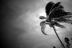 """""""Lake Worth Beach Palm Tree In Black And White"""" - When the winds blow hard in Lake Worth Beach in Florida, the palm trees seem iconic of what it means to live in a tropical paradise."""