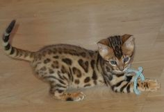 This breed of cat is a Bengal Cat. They are a cross breed between an Asian Leopard Cat (a breed of wild cat) and a domestic cat.  They are legal to own without a permit, but they still look like a wild cat.  I think they are incredibly beautiful! I wish I could get one but a kitten is  usually over $1500