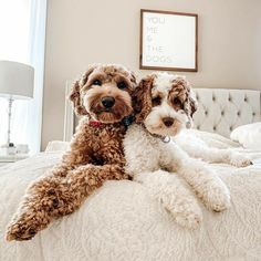 Dog And Puppies Golden Retriever .Dog And Puppies Golden Retriever Cute Baby Animals, Animals And Pets, Funny Animals, Goldendoodles, Labradoodles, Cavapoo, Cute Dogs And Puppies, Doggies, Pet Dogs