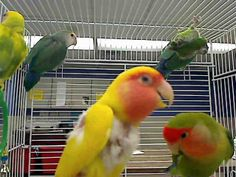 #NEBRASKA ~ ID's A0928730 thru 32 are Lovebird mixes in need of a loving #adopter -- Staff are unable to answer emails or  phone inquiries about specific animals  pictured on the website. Pls come  to the shelter to meet the pets in person. We cannot guarantee an animal you  see online will be available when you  reach the shelter; however,  our inventory is updated hourly. NEBRASKA HUMANE SOCIETY 8929 Fort Street #Omaha NE 68134 www.nehumanesociety.org