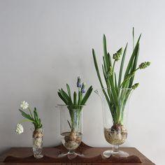 Instagram media by alley_kobe - 今日の気になる子 グリーンのBigなムスカリ。 #4月のアリー #ムスカリ #ムスカリグリーン #花のある暮らし #今日の気になる花 #alley_kotani #muscari #flowerandvintage