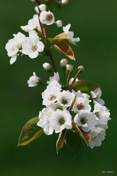 Apple blossom by Sky-Genta, via Flickr  April 2009