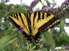 Cuántos días permanece una mariposa en su capullo | eHow en Español