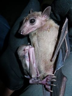 Egyptian rousette (Bats of Africa) · iNaturalist Baby Bats, Fruit Bat, Cute Funny Animals, Dog Pictures, Animals Beautiful, Mammals, Kangaroo, Egyptian, Africa