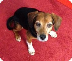 Waldorf, MD - Beagle. Meet Elsa Pulaski a Dog for Adoption.