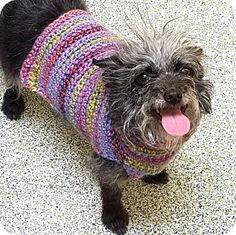 Los Angeles, CA - Terrier (Unknown Type, Small) Mix. Meet Hannah! *LA*, a dog for adoption. http://www.adoptapet.com/pet/17542525-los-angeles-california-terrier-unknown-type-small-mix
