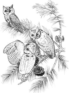Perched Screech Owls Coloring Page From Category Select 24114 Printable Crafts Of Cartoons Nature Animals Bible And Many More