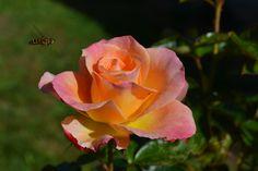 Rose - Day Breaker