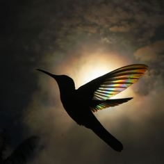 These are several photos captured by photographer Christian Spencer starring a black and white Jacobin hummingbird flying in front of the sun and filtering the light through its wings, causing a prismatic effect. Hummingbird Wings, Hummingbird Pictures, Pretty Birds, Beautiful Birds, Animals Beautiful, Animal Photography, Nature Photography, Stunning Photography, Birds In The Sky