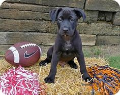Helena, AL - Labrador Retriever/Rottweiler Mix. Meet Sedrick, a puppy for adoption. http://www.adoptapet.com/pet/16570229-helena-alabama-labrador-retriever-mix