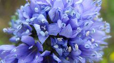 Globe Gilia. Blue Thimble Flower. Gilia capitata. Blooms June-Oct