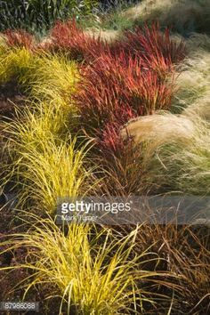 Japanese blood grass , Mexican feather grass , and gold and bronze sedges