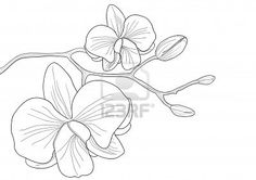 Vector illustration of orchid flower on white background Stock Photo