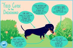 Learn everything about Dachshund Dogs. Find all Dachshund Dog Breed Information, pictures of Dachshund Dogs, training, infographics and care tips on petmd.com.