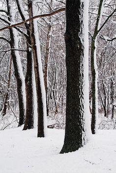 White. Forest. Winter.