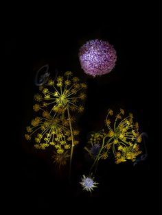 Flowers+That+Look+Like+Fireworks | Flowerworks: Flowers Arranged and Photographed to Look Like Fireworks ...