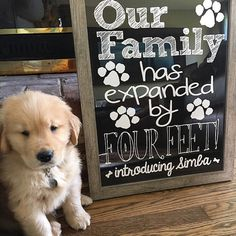Golden Retriever Discover New Puppy Announcement - Our Family Has Expanded by Four Feet - Cute Funny Printable Chalkboard New Pet Announcement Digital File Puppy Pictures, Dog Photos, Puppy Pics, Detroit Tigers, Dundee, Shih Tzu, Pet Dogs, Dogs And Puppies, Puppies Tips