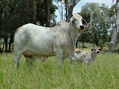 Fenech Brahmans Australia Brahman Cattle and Semen Exports