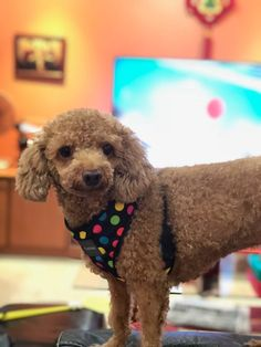 11 Best Missing Poodles In Singapore Images In 2019 Poodle