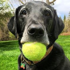 Loves his ball. #dog #dogs #katanddog #lab #labrador #retriever #labradorretriever #blacklab