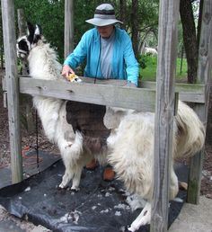 Image result for llama shearing Shearing, Outdoor Furniture, Outdoor Decor, Animals, Image, Home Decor, Animaux, Animal, Interior Design