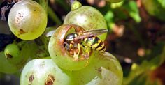 Cum împiedicăm viespile să vandalizeze via și livada | Paradis Verde