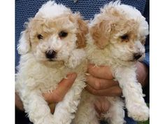 akc toy poodle puppies for adoption