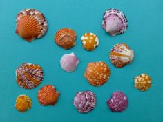 calico scallop sea shells.  God is Awesome.  No two of these sells are exactly alike just like everything else He creates all are unique individuals!