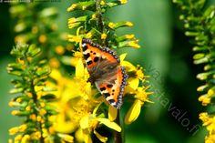 Nokkosperhonen - nokkosperhonen nymphalis urticae perhonen keltainen vihreä…