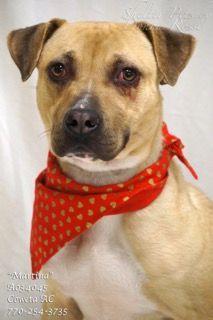 New York, NY Boxer Mix. Meet Rock, a dog for adoption