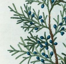 Antique Botanical Juniper Branch Printable!