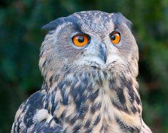 #Owl bird of prey #BirdsofPrey