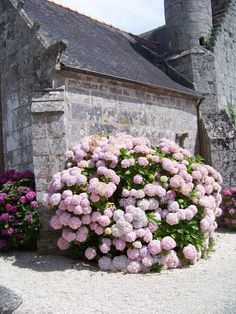 Beautiful hydrangeas in full bloom in Bretagne, France. Hortensia Hydrangea, Hydrangea Garden, Peonies Garden, Purple Hydrangeas, Outdoor Plants, Garden Plants, Outdoor Gardens, Love Flowers, Beautiful Flowers