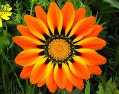 A gazânia é uma planta nativa da África do Sul que produz impressionantes flores em forma de margarida, em tons incríveis de amarelo, laranja e vermelho.