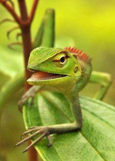 Sri Lankan Green Garden Lizard (Calotes calotes) by reptile street photographer