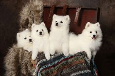 This theory is controversial, but those who believe it claim Samoyeds have been strictly bred for smallness, together with the end result becoming the Japanese Spitz. Everything regarding the Japanese Spitz strongly suggests that it's simply a little version of the Samoyed.