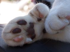 I love polydactyl paws.  I have 2 polydactyl cats.  Mother & son.