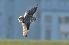 Short-eared owl - Cuxhaven, Germany