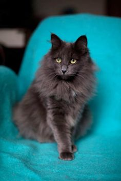 Pippi, Norwegian Forest Cat