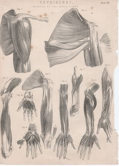 SALE Set of 2 Vintage Anatomy Plates: Muscles (JR201).  to buy: http://www.etsy.com/listing/82234576/sale-set-of-2-vintage-anatomy-plates