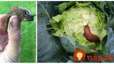 Na slimáky mi nefungovalo pivo ani vaječené škrupinky: Stačilo dať do záhonov toto a zeleniny sa už ani nedotkli, odporučil som to už všetkým susedom! Cabbage, Vegetables, Garden, Anna, Garten, Vegetable Recipes, Cabbages, Lawn And Garden, Outdoor