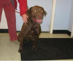Brody is the typical chocolate lab - energetic, playful, goofy, affectionate and always available for a fun time.