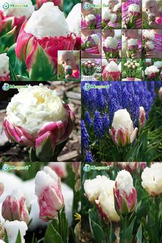 [Visit to Buy] 10PCS Rare Bonsai Seed Ice Cream as Beautiful Tulips Tulip Flower Seeds Potted Perennial Home Gardens #Advertisement