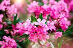 Amit a leander metszéséről tudni érdemes Hydrangea Shrub, Hydrangea Paniculata, Shrub Roses, Hortensia Rose, Water Hemlock, Forage Crops, Red Maple Tree, Hedera Helix, Irises