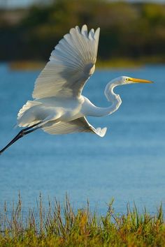 寒露 白鹭waasabi: Great Egret by Dream Source Studio Sea Birds, Wild Birds, Beautiful Birds, Animals Beautiful, Bird Drawings, Big Bird, Exotic Birds, Fauna, Bird Watching