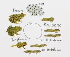 Sachunterricht in der Grundschule: Lebenszyklus Frosch | škola ...
